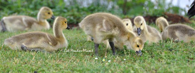 bernache du canada avec leurs petits oisillons
