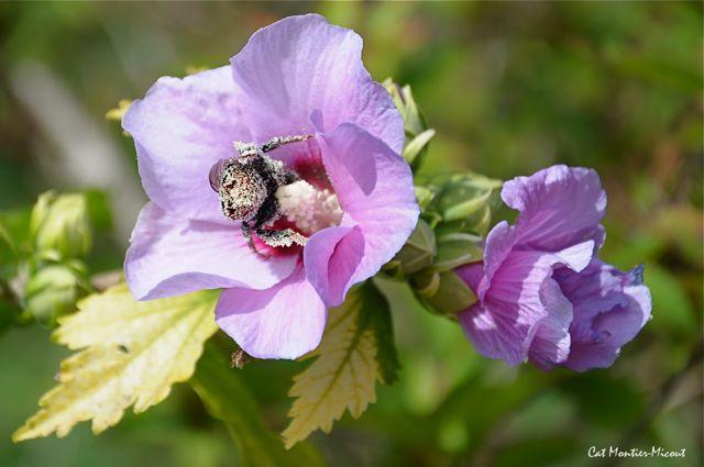 bourdon enduit de pollen sur lavatère
