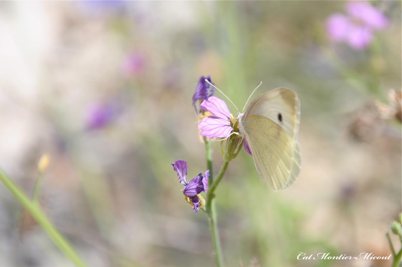 papillon citron sur bleuet