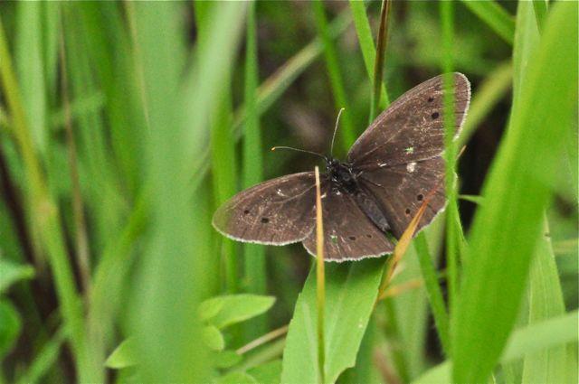 papillons mouchetés forêt chantilly