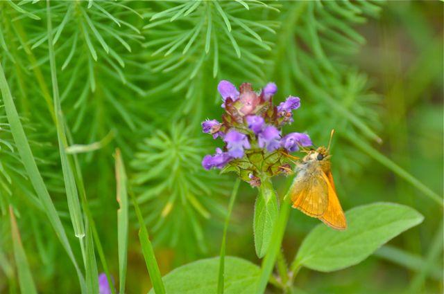 papillons jaunes forêt chantilly