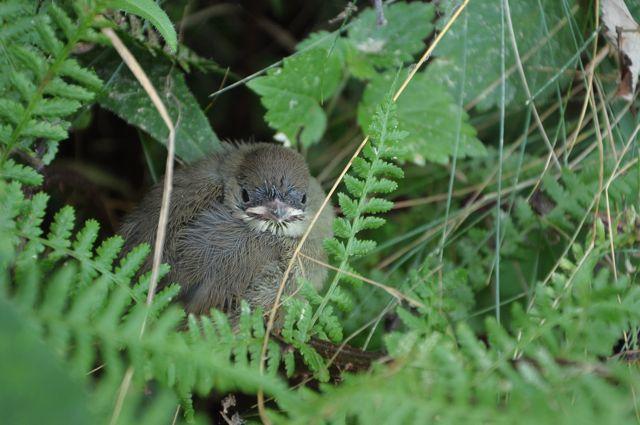bébé mésange dans un buisson
