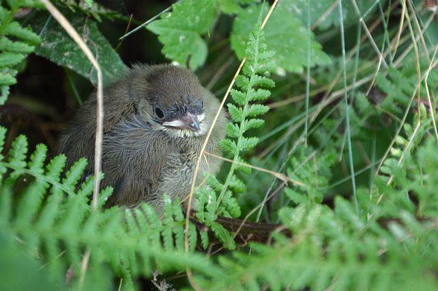 bébé mésange dans un buisson 3