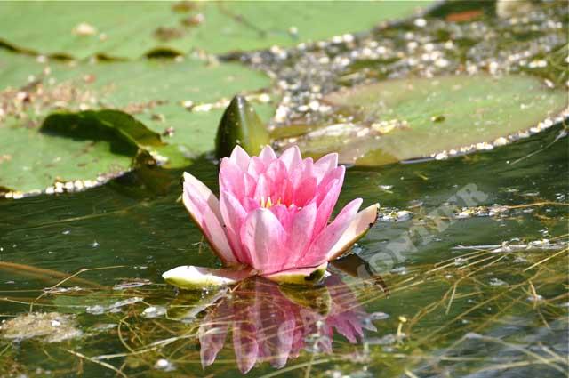 Nénuphar rose sur un étang à Gouvieux dans l`Oise