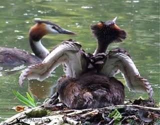 grèbe sur nid en couple avec leurs oeufs