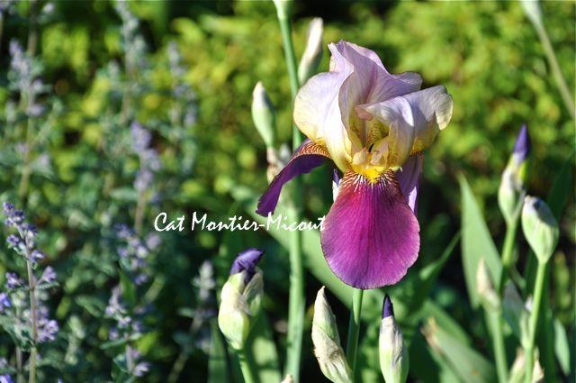 iris bi-color mauve jaune