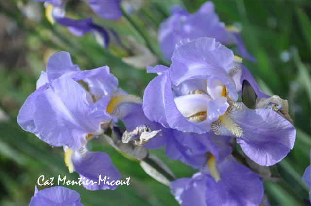 iris mauve photo prise en allemagne