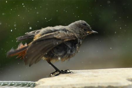 Jeune merle se secouant à la sortie du bain