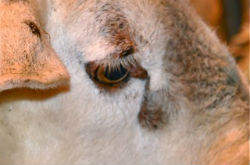 mouton 1 oeil