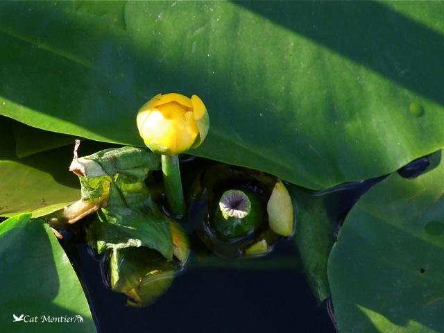 nénuphar jaune dans un étang de l`Oise