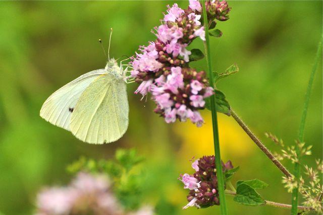 papillon toutevoie