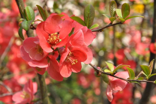 Floraison de mars - Pommier du japon fruit ...