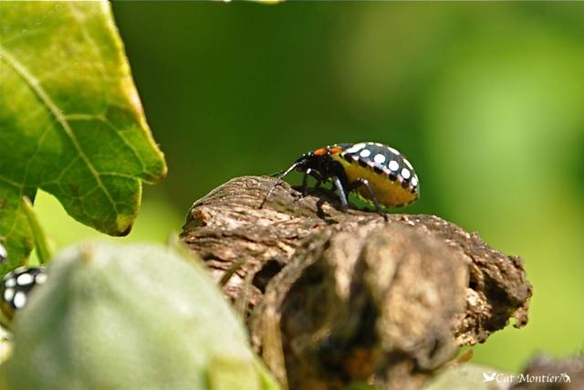 insecte punaise sur feuille