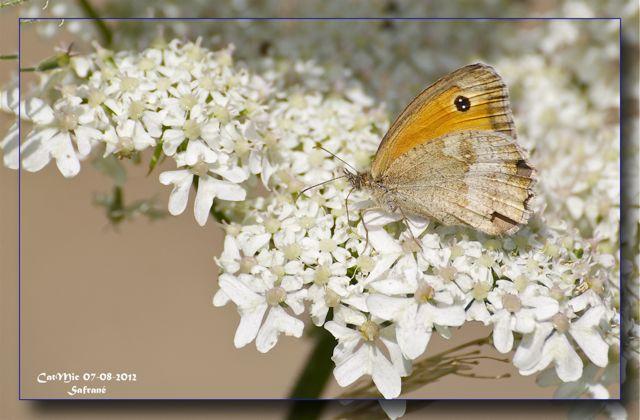 papillon vanesse des chardons