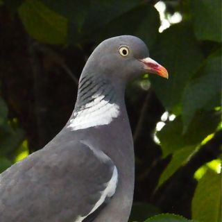 vignette pigeon